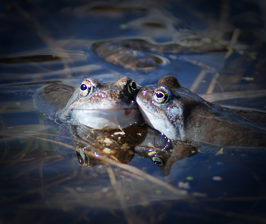 Two kissing frogs in the water