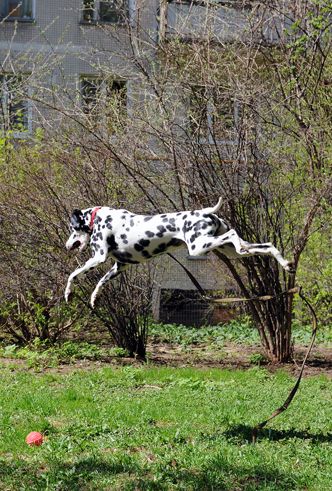 Dalmatian playing with ball