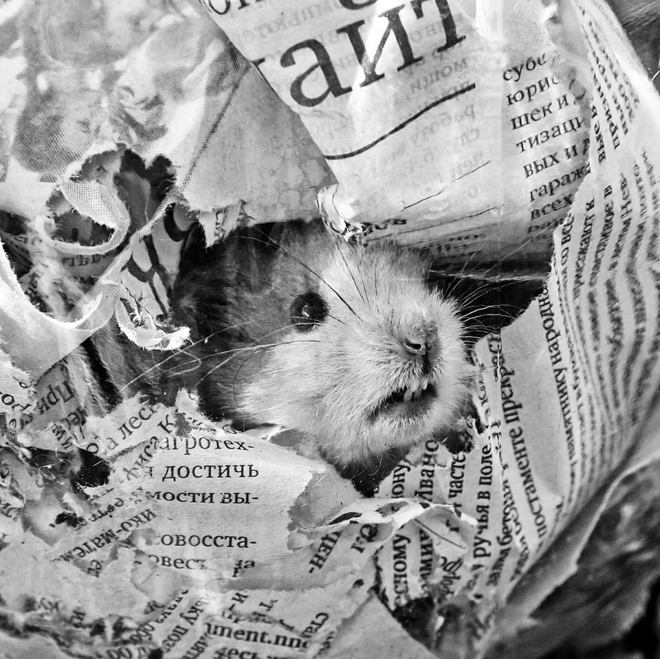 Hamster. Black and white