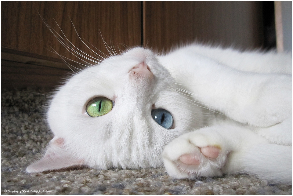 Cat with different colored eyes
