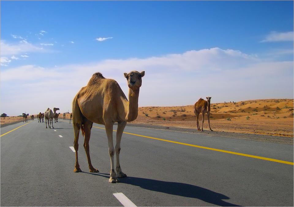 Camels walking