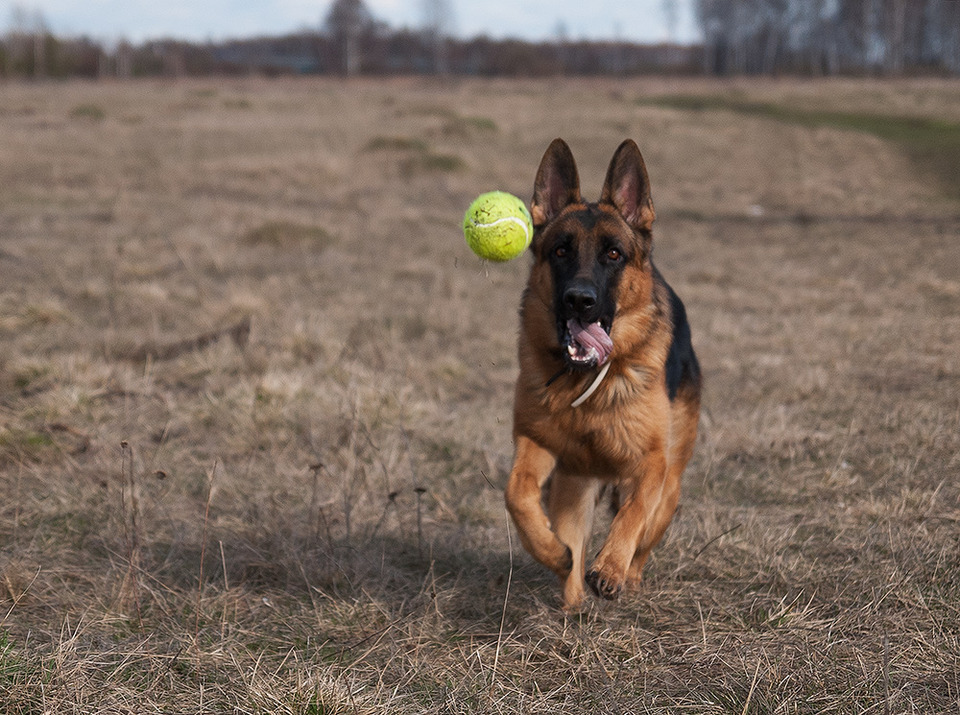German shepherd plays with toy ball