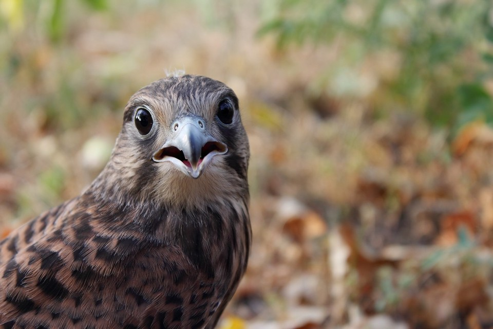 Falcon watching you