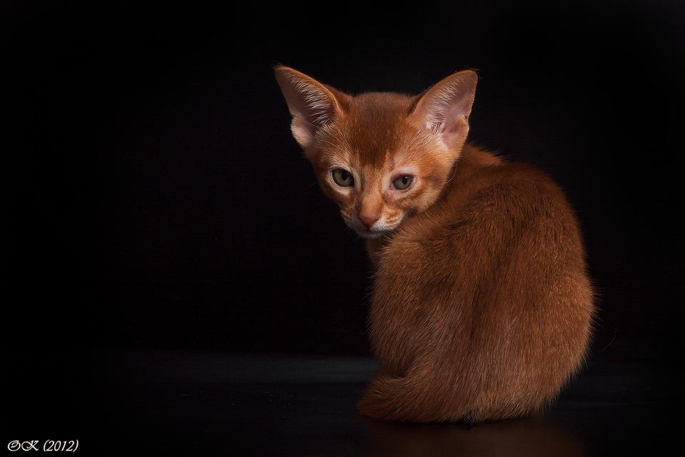 Foxlike cat