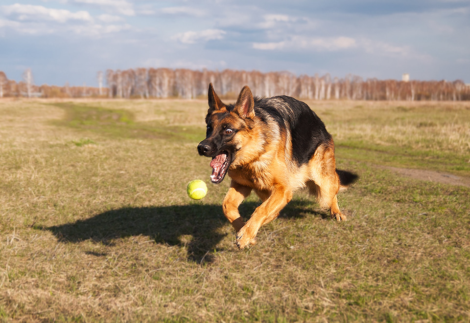 German shepherd playing