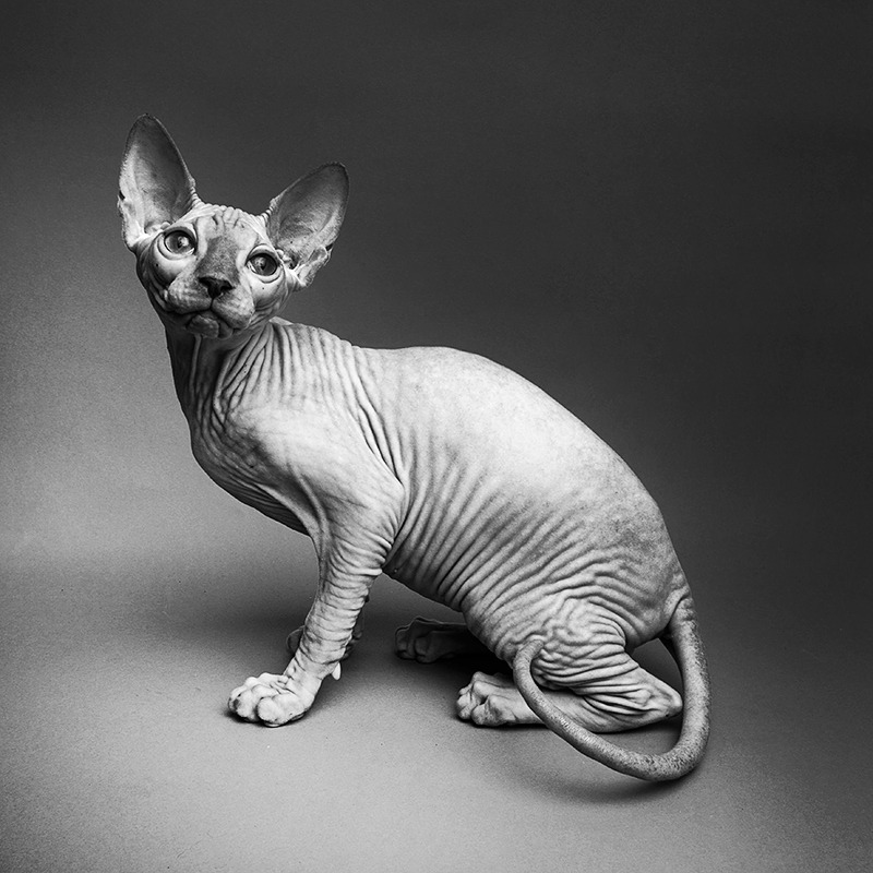 Black & white sphinks cat