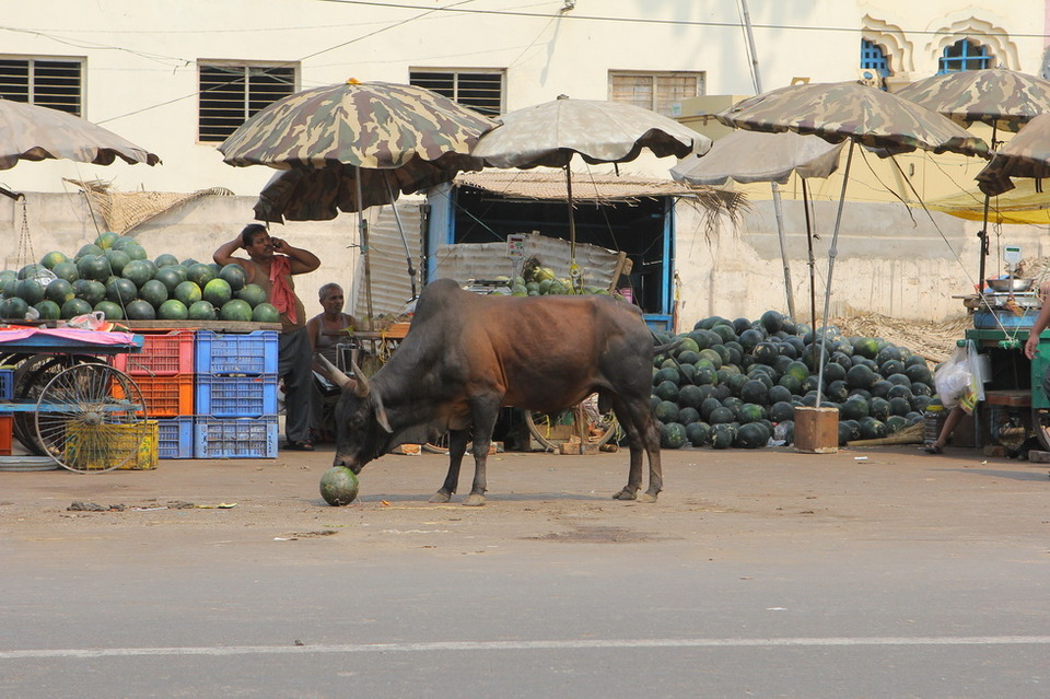 Cow eating water-melon