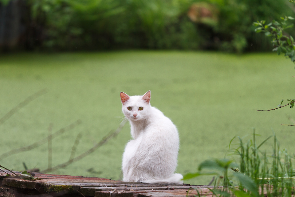 White cat turned back