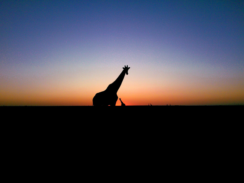 Giraffe in the dusk