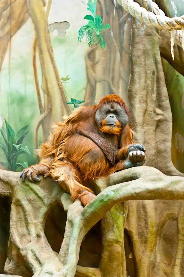 Fat gorilla