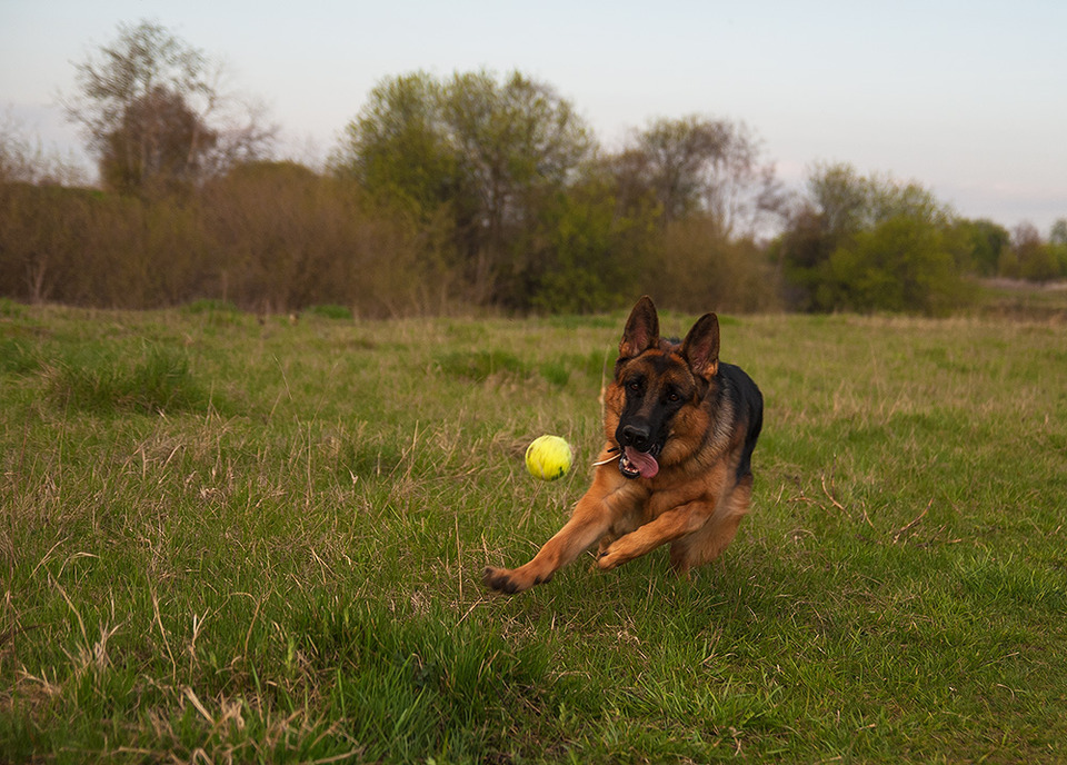 German shepherd and a toy ball