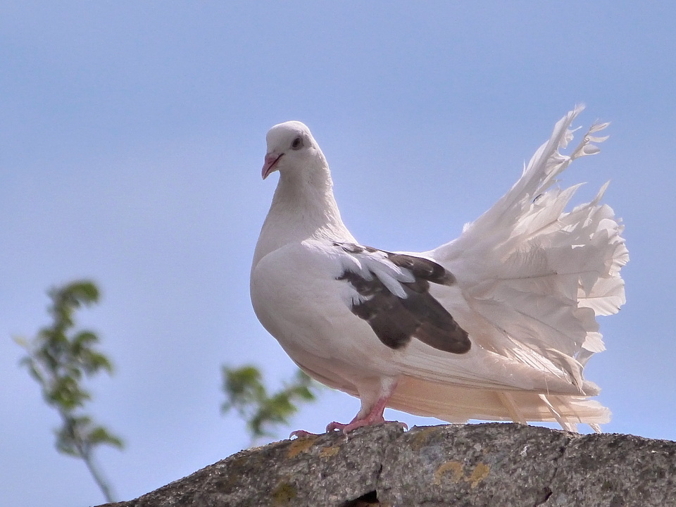 Some kind of pigeon
