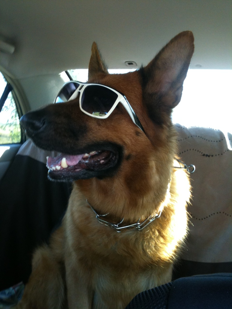German shepherd wears glasses
