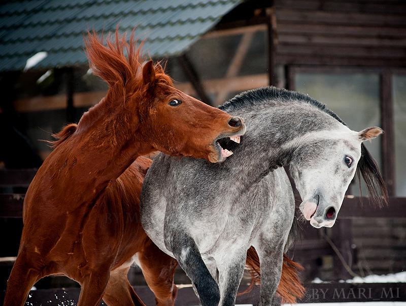 Horses play
