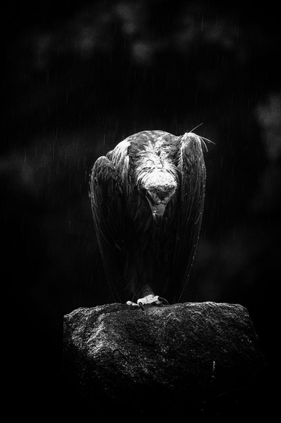 Black & white eagle