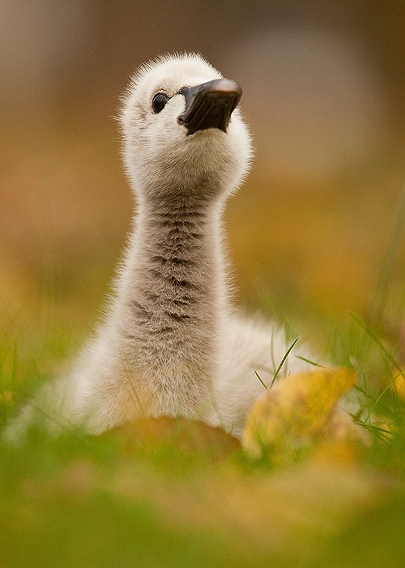 Duckling in the grass