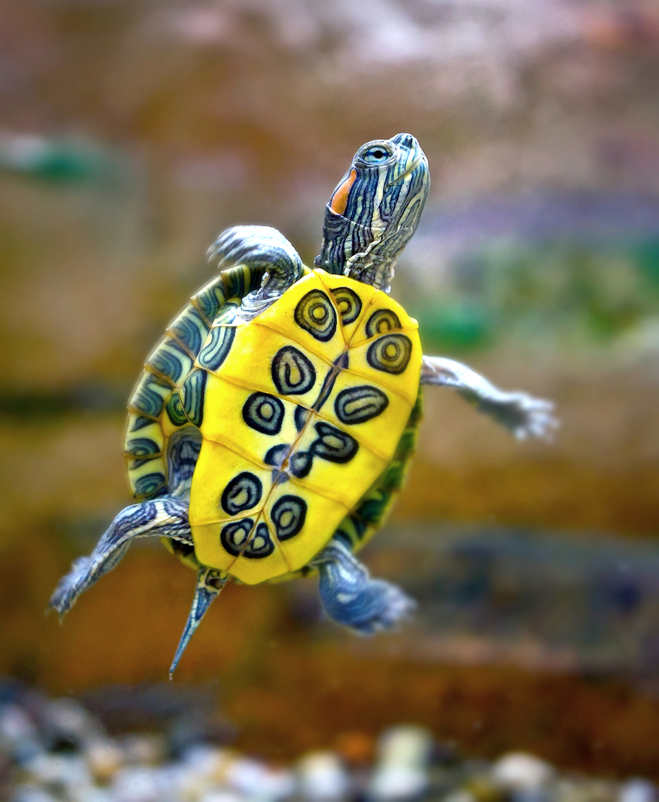 Flying turtle | turtle, flight