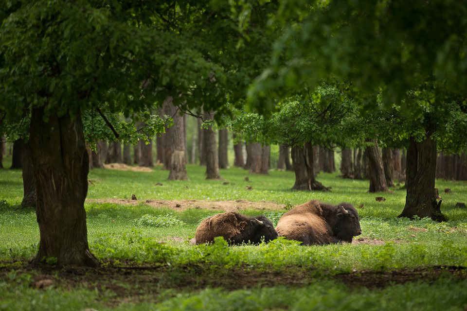 Buffaloes rest