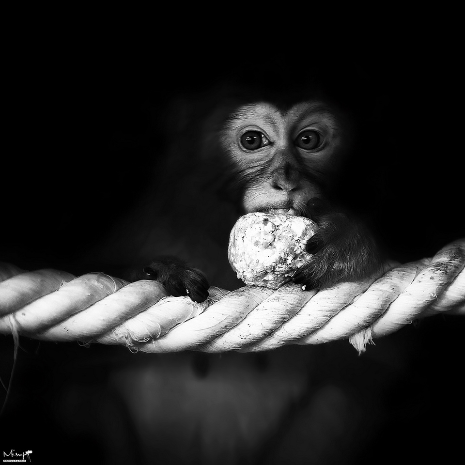 Sweet tooth, m�nkey | animal, wild, m�nkey, black-and-white, sweet tooth, eyes, paws, cable, black background, think