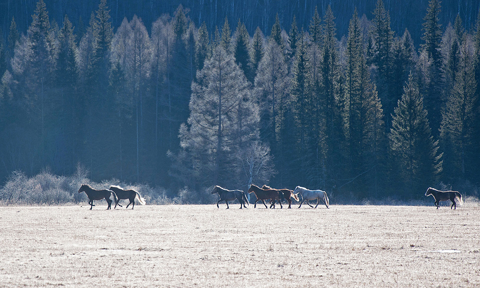 Horses feeding on a frosen field