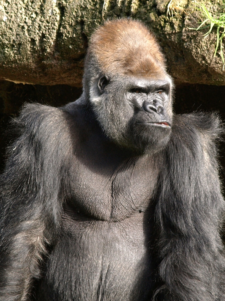 Gorilla watches you