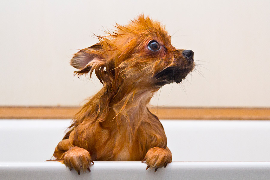 Little spitz has a bath