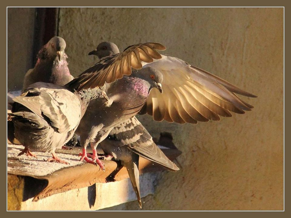 Four pigeons