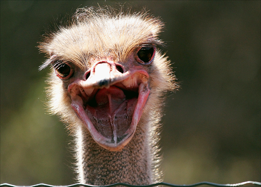 Happy ostrich | ostrich, smile, happy, day