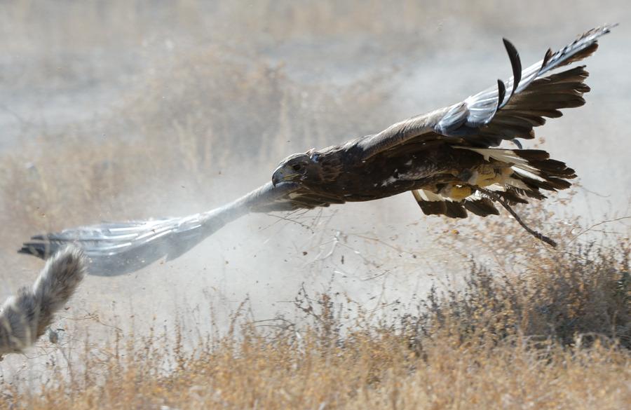 Falcon hunting rabbit