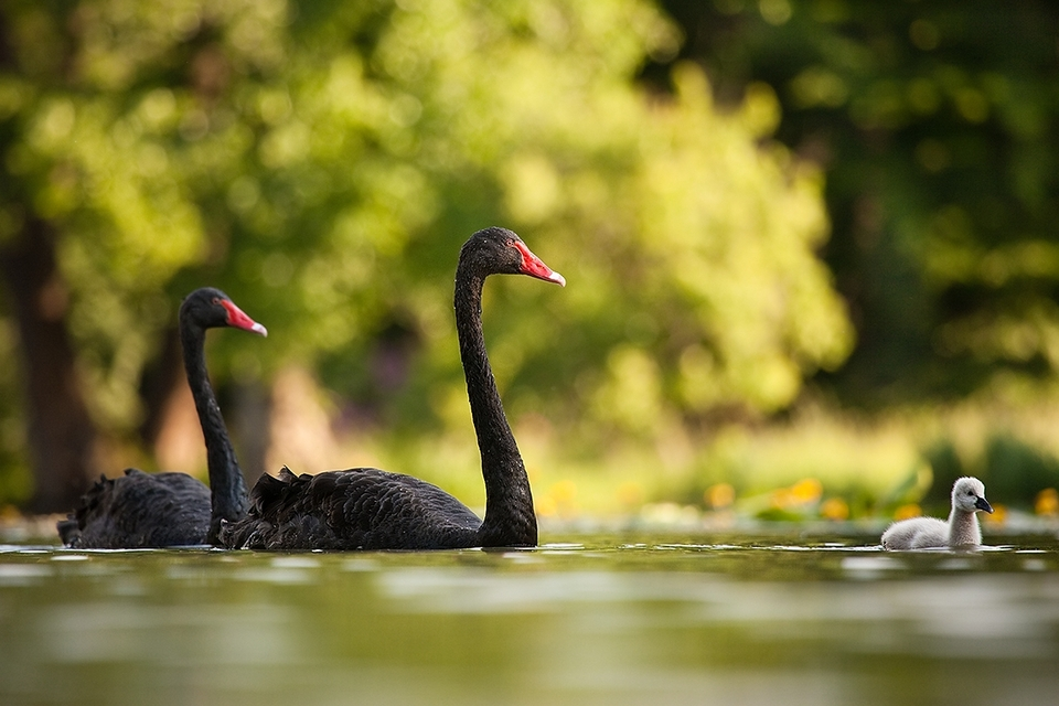 Family of the black swans | animal, birds, nature, water, black swan, nestling, summer, red