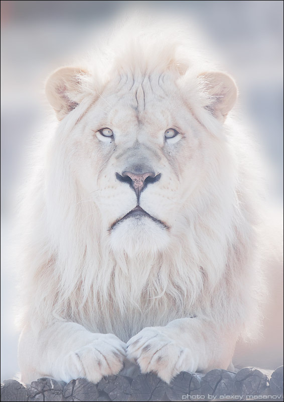 Cute lion | animal, wild, lion, cat, light, hair, mane, paws, muzzle