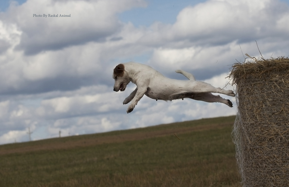 Flying Jack Russell Terrier from the hayrick