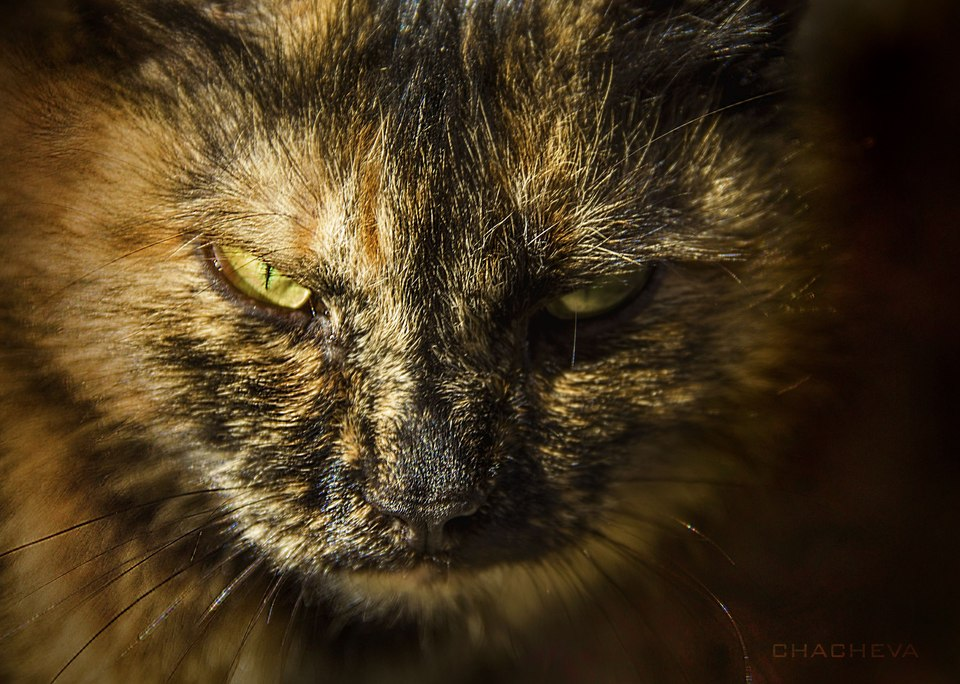Fierce cat | animal, pet, cat, fluffy, green, eyes, whiskers, hair, fierce, sunshine