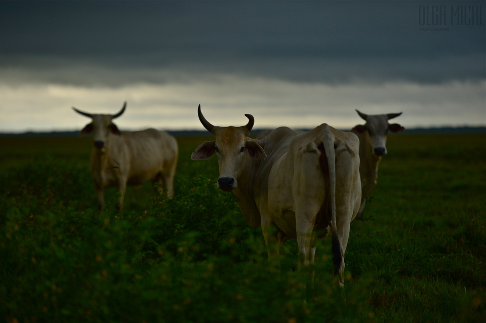 Three cows graze, Venezuela | animal, cows, Venezuela, field, green, grass, sky, grazing, horns, evening