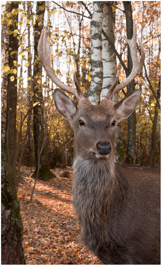 Portrait of a young deer | animal, wild, deer, forest, autumn, birch, sunny, antlers, portrait, young