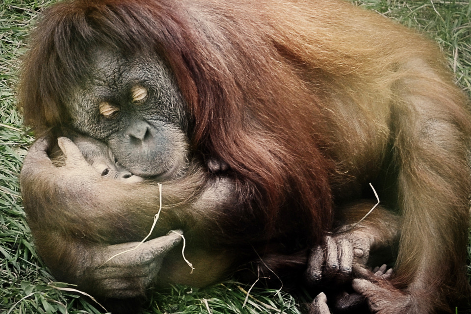Orangutan embraces its baby