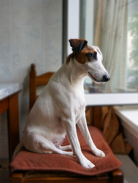 Fox Terrier looks through the window