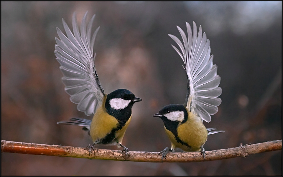 Two little birdies dancing | bird, dance, branch, tree