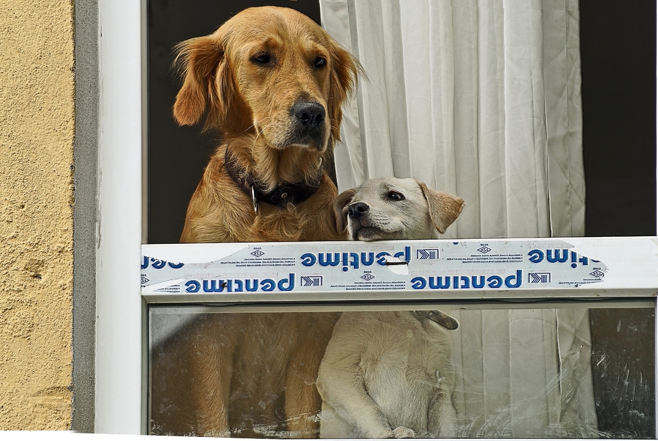 Two dogs are waiting for the owner