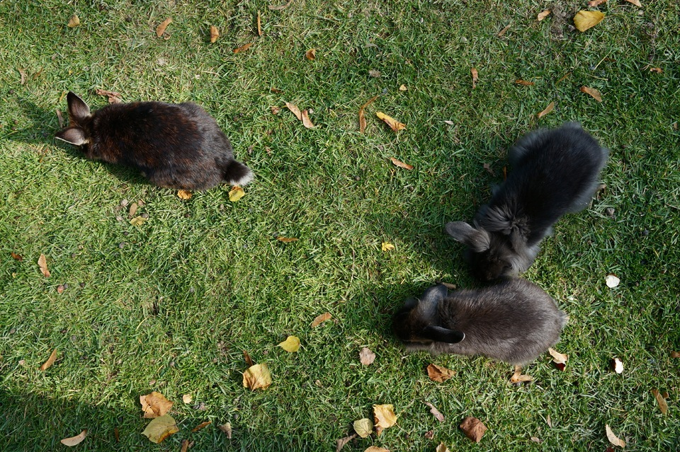 Three little black rabbits | animal, Schönbrunn Zoo, Vienna, rabbit, black, grass, leaves, grazing, fluffy, baby