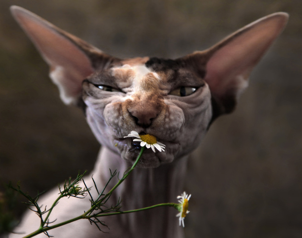 Ugly cat eating camomile