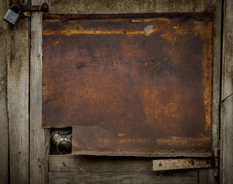 Cat in the hole of the door | animal, pet, cat, Persian, shed, door, lock, hole, rusty, sheet of iron