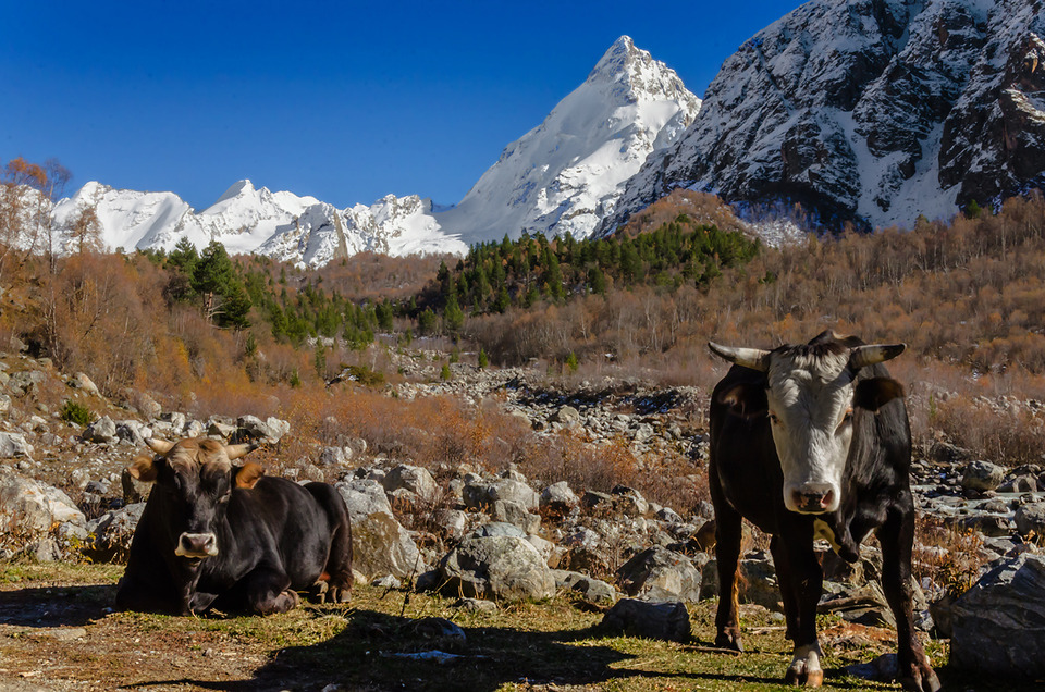 Two grazing cows | animal, cows, graze, nature, trees, mountains , snow, horns, stones, sunny