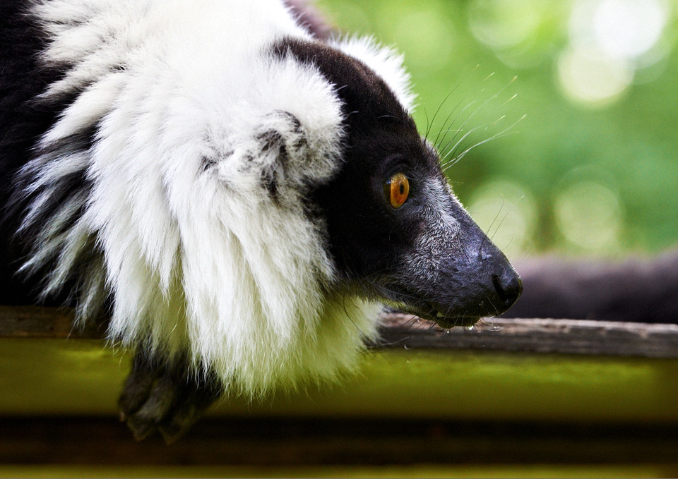Black-and-white ruffed lemur | animal, wild, ruffed lemur, black-and-white, eyes, watch, fluffy, nature, green, summer