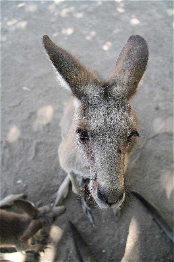 Asking kangaroo