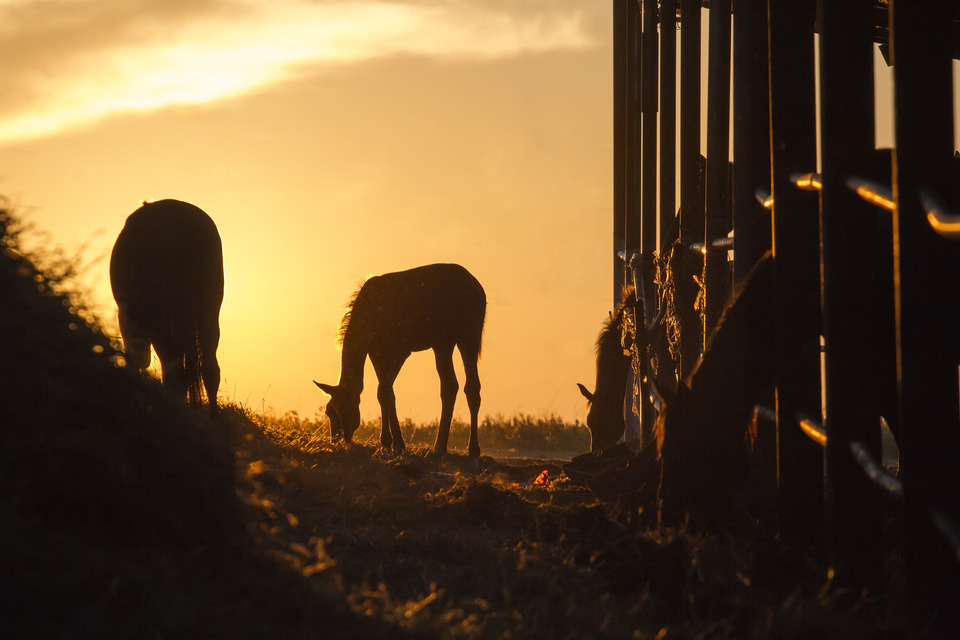 Horses, at dawn | animal, morning, dawn, horses, pasture, nature, foal, grass