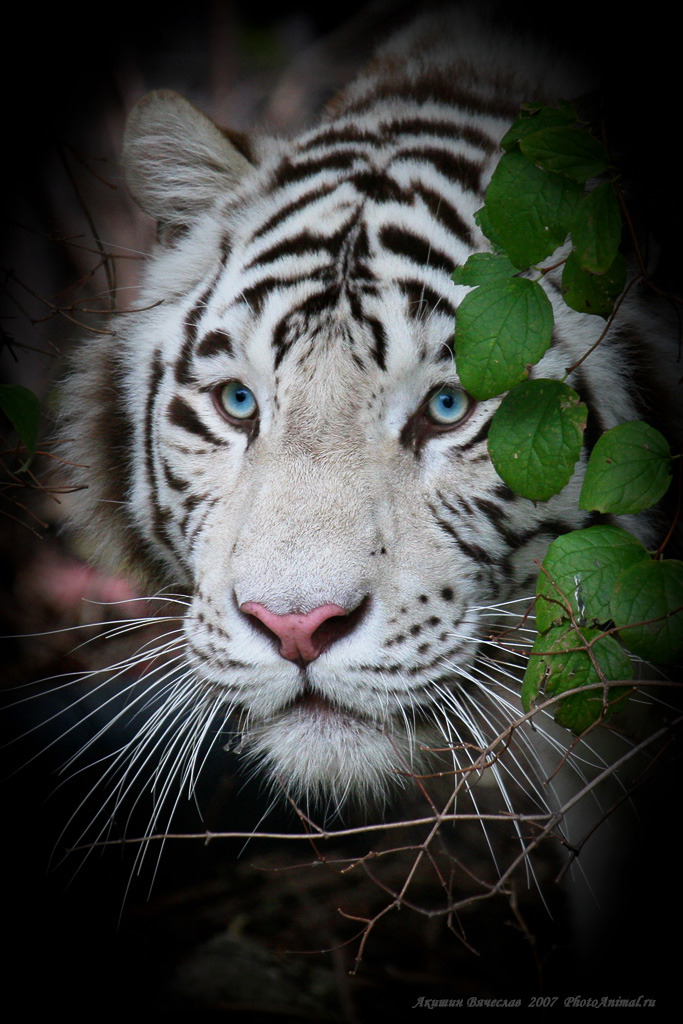 White tiger | white tiger, wild cat, zoo, nature
