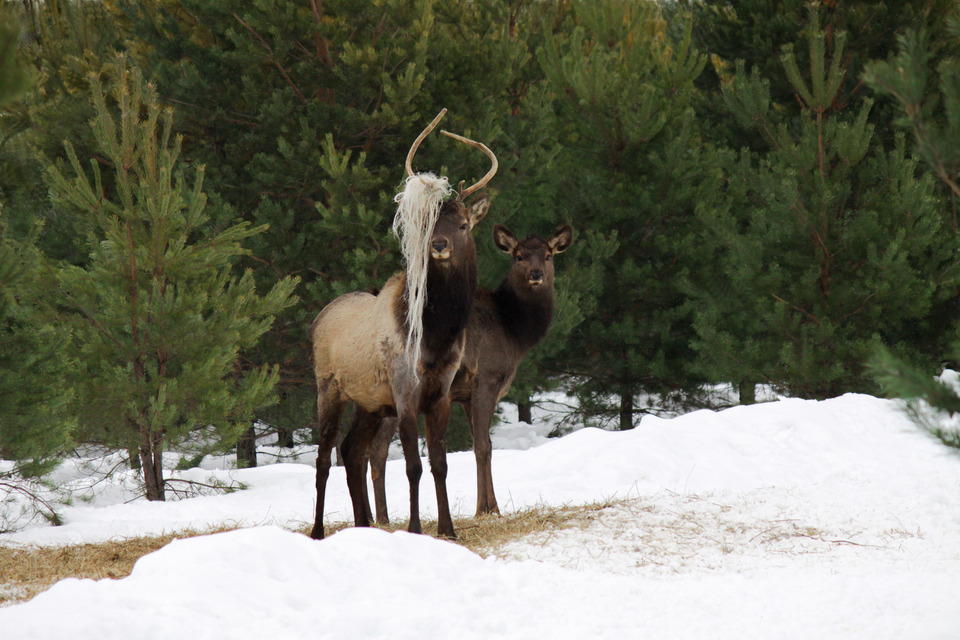 Two deers in the winter forest
