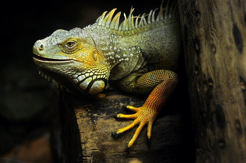 Iguana crawls along a tree body