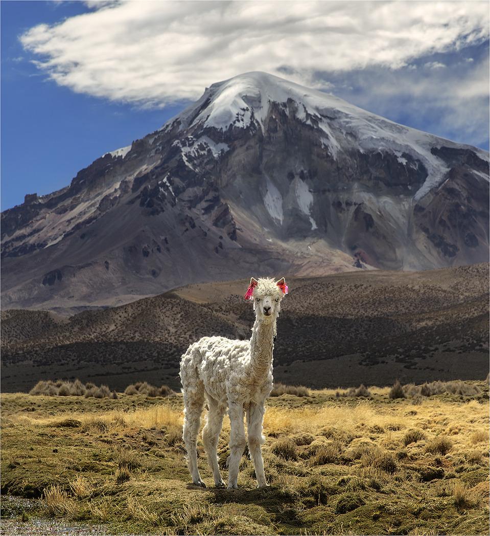 White alpaca near volcano Sajama